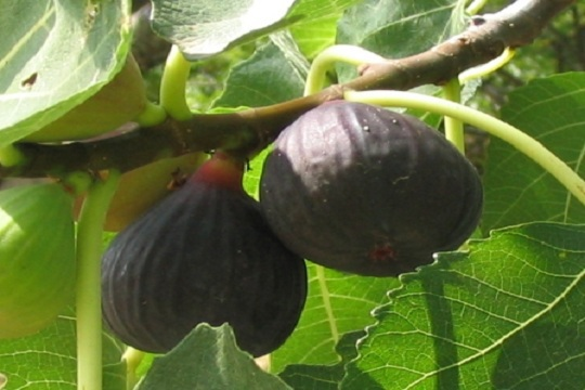 First Fruits of the Fig tree.JPG