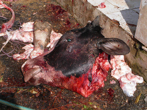 cow-slaughtered
